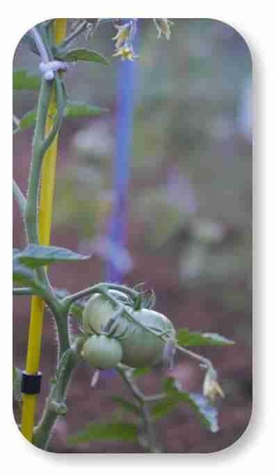 jardin tuteur de tomates pliable en couleur haut 150 cm fibre de verre. Black Bedroom Furniture Sets. Home Design Ideas